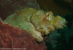 BD-070410-Ao-Nang--Scorpaenopsis-oxycephala-(Bleeker.-1849)-[Caledonian-devilfish].jpg